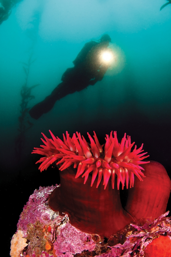 Scuba Northern California's renown as a dive destination centers on Monterey Bay and Point Lobos
