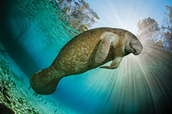 Scuba Manatees, which can reach 13 feet and 1,300 hundred pounds, are found year-round on Florida's southern coasts but congregate by the hundreds from November to March