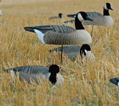 "Hunting These Canada Goose Shells are among the hottest new goose decoys. Each features the incredibly detailed paint schemes you have come to expect from GHG . With every box you receive four Rester, two Semi-Active and six Feeder heads to create a realistic look. Also, to make your spread a bit more inviting to wary birds, each box comes with 6 18"" MotionStakes to provide the movement critical to a successful hunt. These decoys are a perfect solution when a large and affordable spread is required. Come with flocked heads for added realism. Per 12. - $109.88"