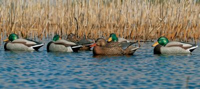 "Hunting For duck hunters who require the most realistic decoys possible. With a variety of body styles and head positions, these anatomically perfect decoys will convince spread-tested ducks. Same sizes, rugged construction and 60/40 keels of the proven Life-Size Series . Pack includes: three rester drakes, one rester hen, one sleeper drake, one sleeper hen. Dimensions: 14-1/4"" x 7-1/2"". - $44.88"