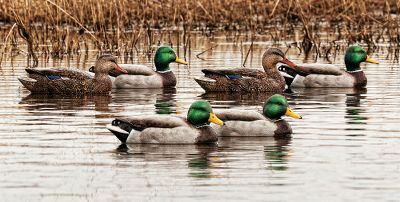Hunting Decoys simply dont get more lifelike than these. Ultrarealistic paint schemes and slightly oversized bodies are irresistible to live ducks. Innovative paint adhesion puts an end to chipped, faded decoys. Durable construction stands up to the harshest conditions. Weight-forward swim-keel design gives these decoys lifelike motion, even in the slightest breeze. Open Water Series comes with two high-head drakes, two low-head drakes, a high-head hen and a swimmer hen. Backwater Series comes with two surface-feeder drakes, two feeder drakes and two feeder hens. Decoys measure 14-12L from tail to breast. Available: Open Water Series, Back Water Series. Type: Mallard Duck Decoys. - $69.99