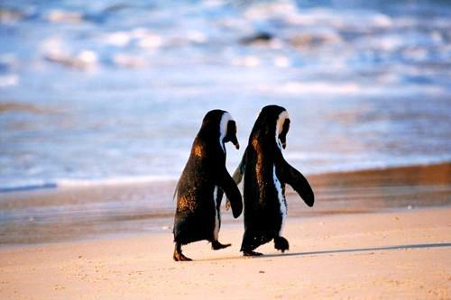 Entertainment When a penguin finds it's mate, they stay together forever.