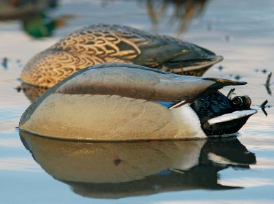 Hunting Complete the illusion of a content group of mallards. Feeding dabblers spend a lot of time with their heads underwater, and these ultrarealistic decoys duplicate this natural position. Solid 60/40 keel. Per pair one drake, one hen. Imported. - $14.88