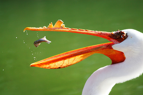Fishing White pelican with lunch in midair