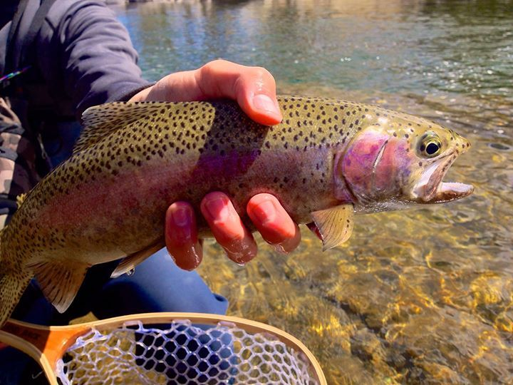 Gallatin river fishing report 1 200 cfs gallatin gat for Gallatin fishing report