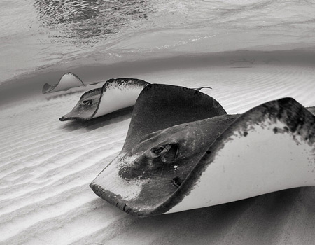Scuba stingrays in straight line