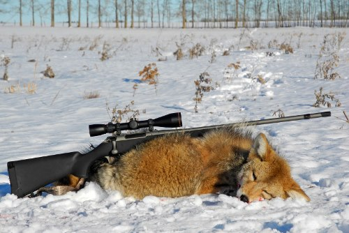 How far was your longest successful shot on a predator?