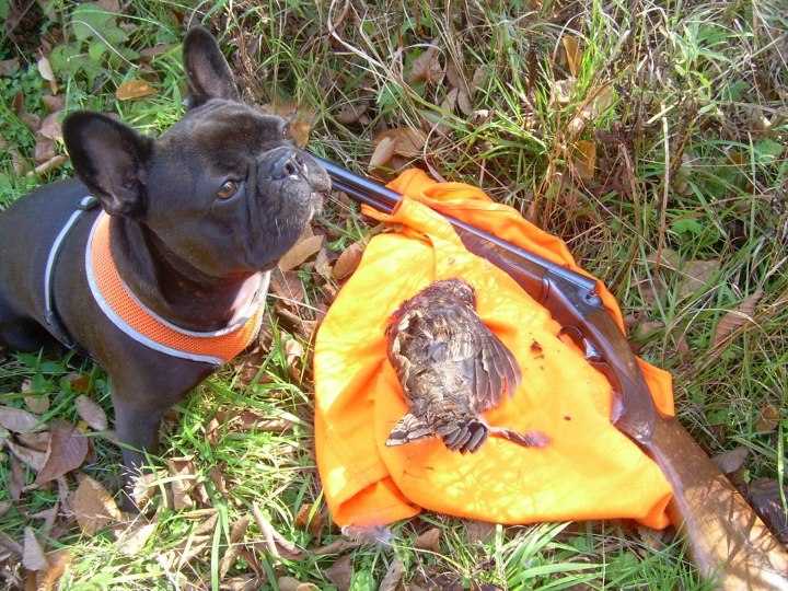 Breed: French Bulldog Skills: Flushing; Dispatching and Trying to Retrieve Upland Game. Owner: Bob Wasson Handler: Mike Wasson NAH Life Member