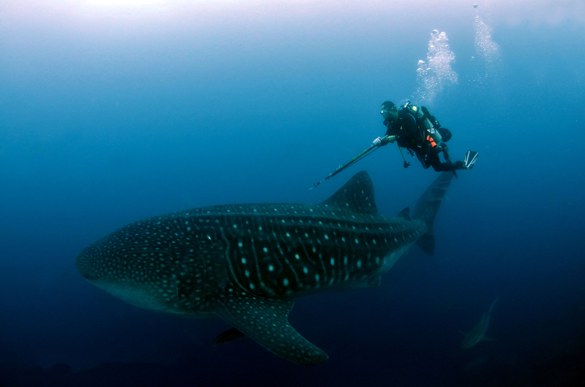 Scuba whale sharks are friendly