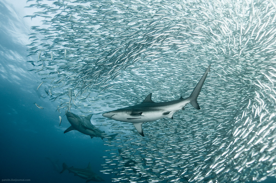 Scuba copper sharks engulfed in the ball of sardines
