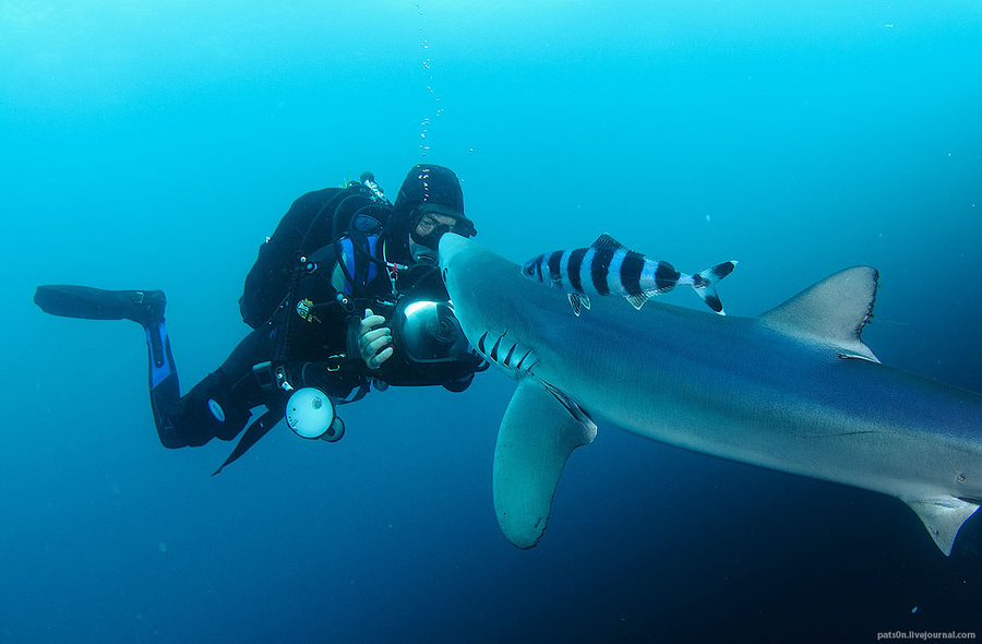 Scuba blue shark and the diver