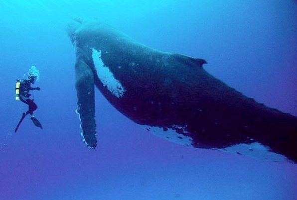Scuba Would you mess with a 40-tonne humpback whale?