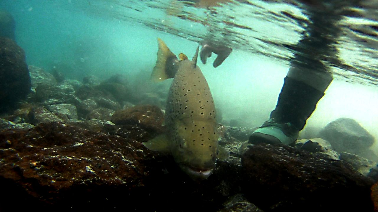 Flyfishing Brown trout release.. Limay River, Argentina