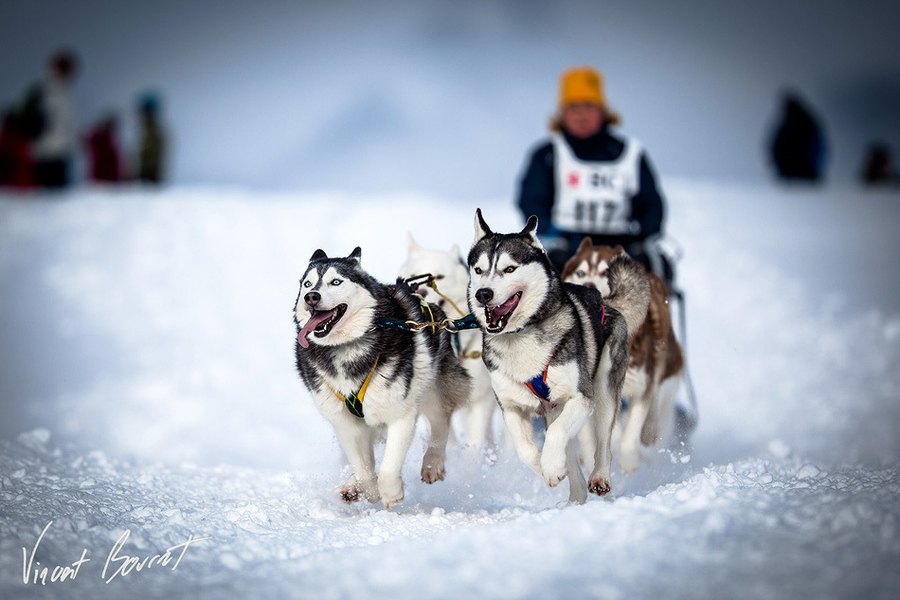 Entertainment dog sledding