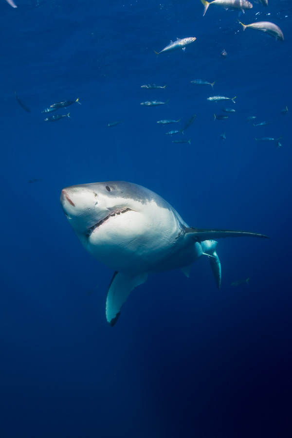 Scuba Great White out of the blue...