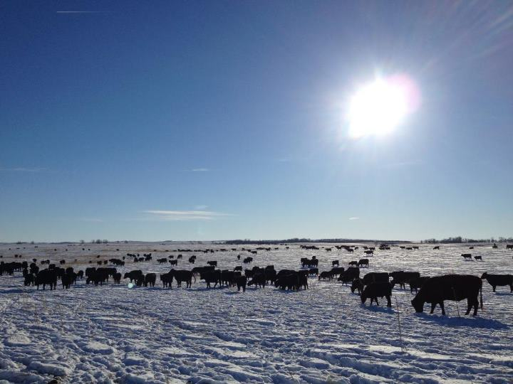 "Rounding up some cattle on a brisk North Dakota day. It'd be a lot easier if ""Stitch"" was here!"
