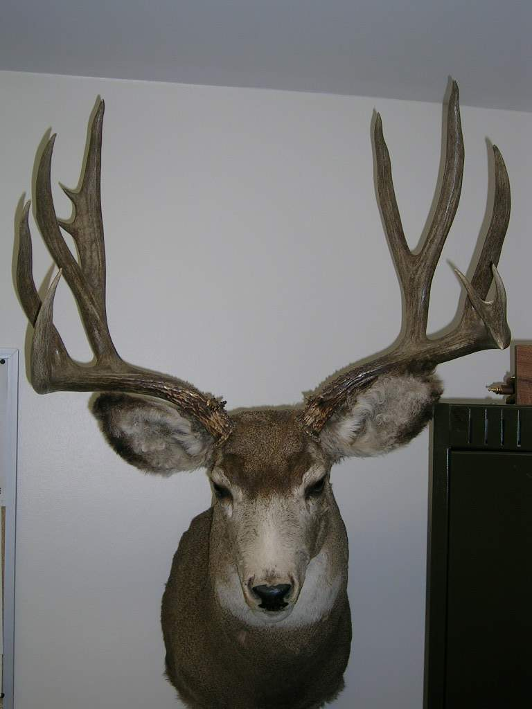 Hunting Mule Deer shot in Saskatchewan in 1986.  Scored 179 6/8 after deductions and is in Henry Kelsey Record book.  Score there is not accurate.  I have the score sheet and it is recorded wrong.