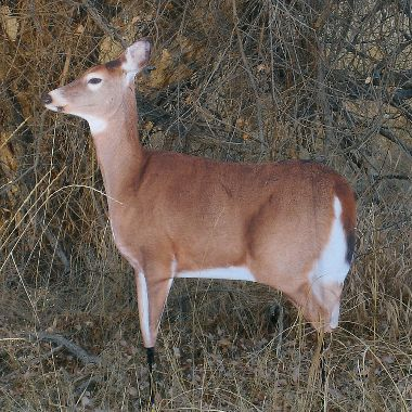 Hunting Montana Dreamy Doe Decoy   $69.99