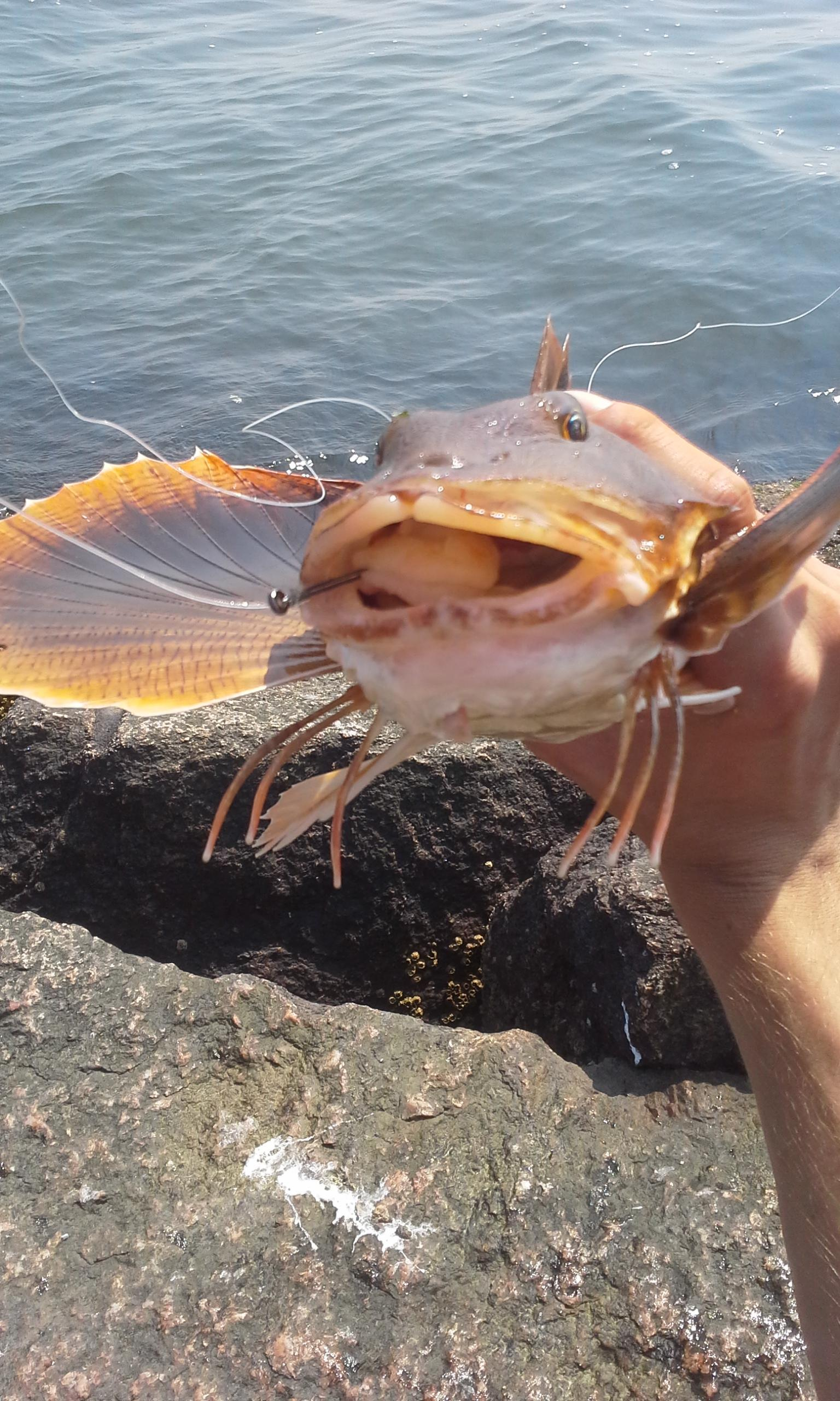 My first sea robin caught on the long island sound for Long island sound fishing