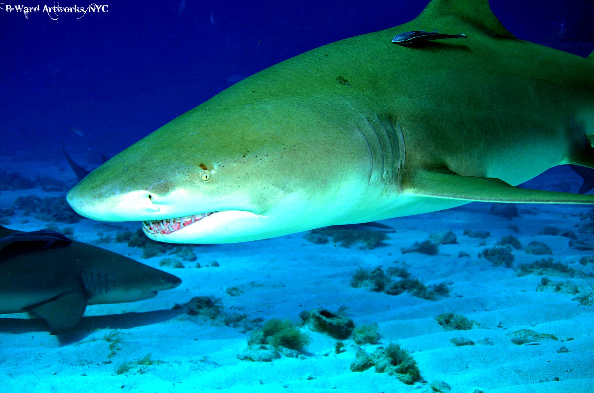Scuba Big Lemon Shark, Bahamas
