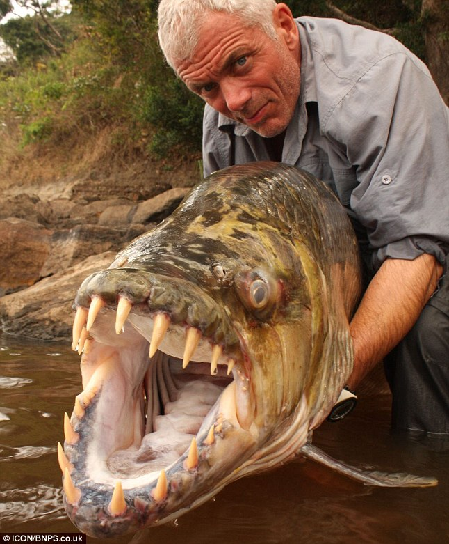 Fishing Jeremy Wade catches a 5ft long goliath tigerfish
