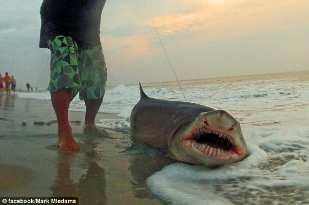 Fishing Catch of the day: Local fisherman reels in seven-foot shark using only a standard line and rod