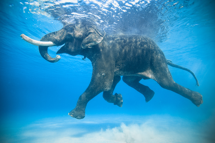 Wake Rajan is one of the few salt water swimming elephants on Earth. He lives in the Andaman Islands with his mahout, or caretaker