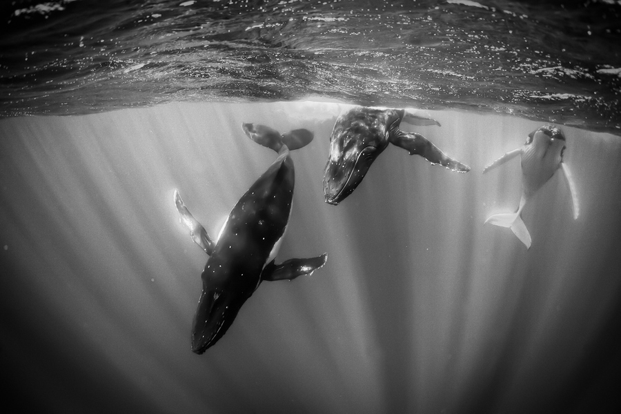 Scuba Humpbacks in Sunlit Water