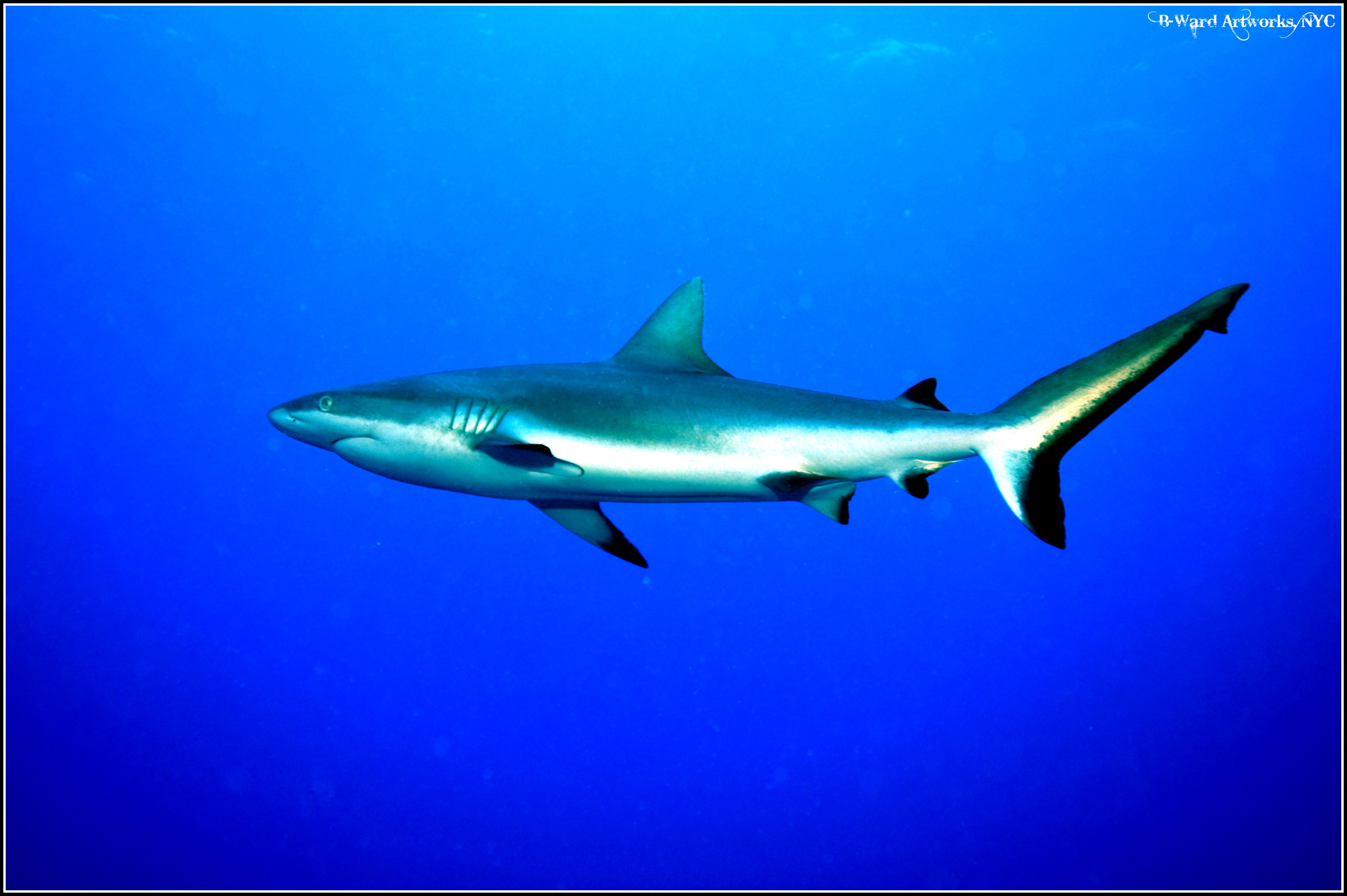 Scuba Reef Shark at Bora Bora Lagoon