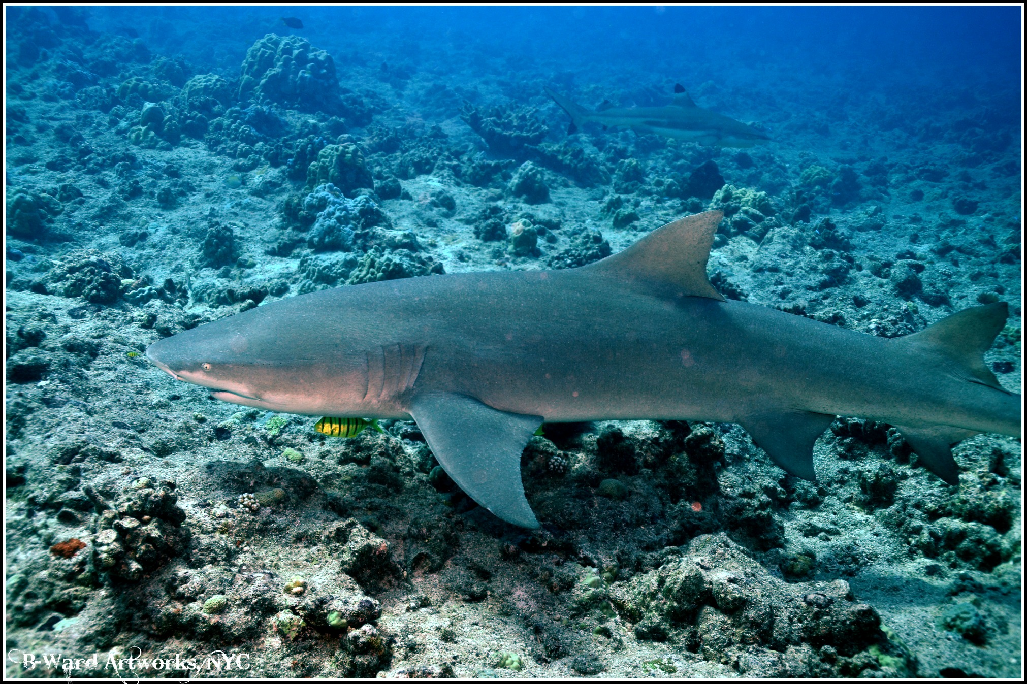 Scuba Lemon Sharks & Blacktip Sharks @ Bora Bora Lagoon, French Polynesia