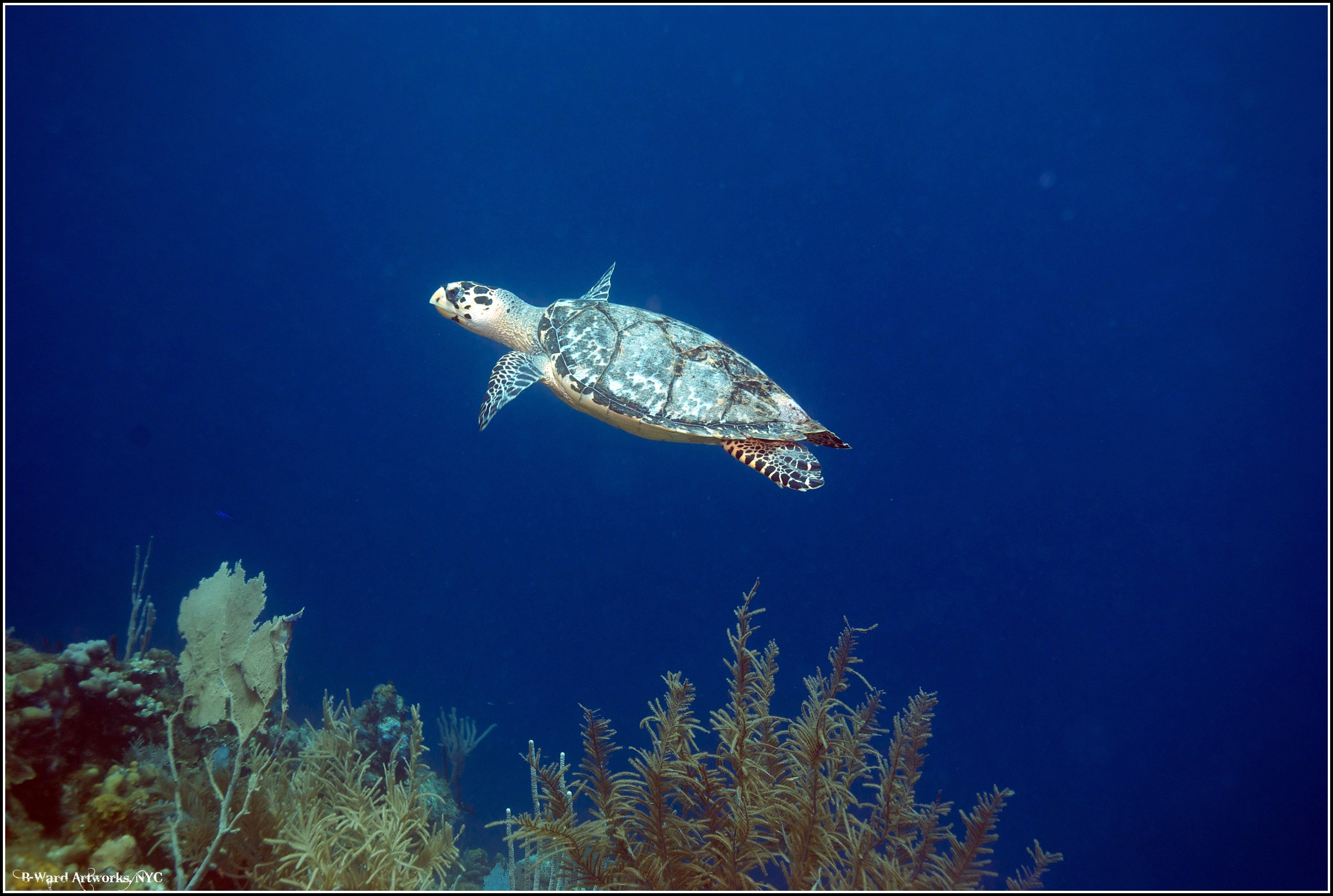 Scuba Hawksbill flyby at reef on Utila, Honduras