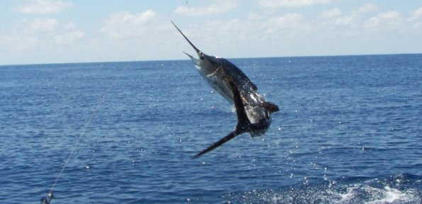 Fishing Sailfish jumping in Miami