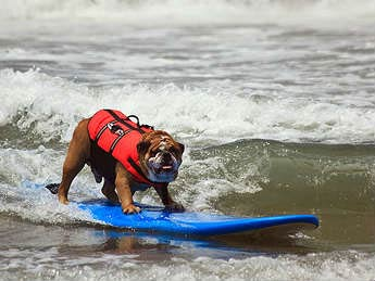 Surf bull dogs can do anything