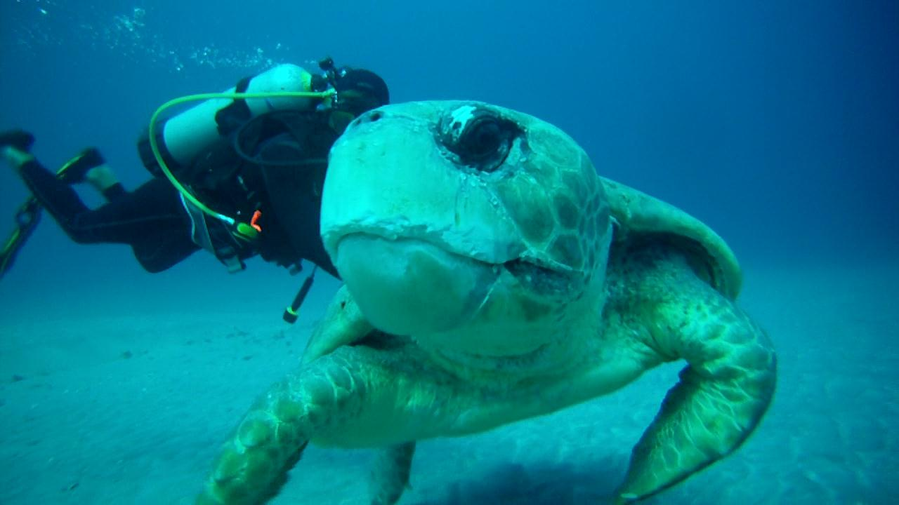 Scuba Loggerhead Sea Turtle in Jupiter, FL