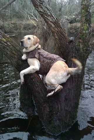Hunting Ollie, a yellow Labrador from Salters, South Carolina