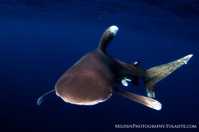 Scuba Oceanic whitetip nosing in off the Kona coast of Hawaii.