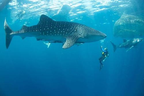 Scuba Swimming with docile Whale Sharks in Ahe Dive Resort, Papua.