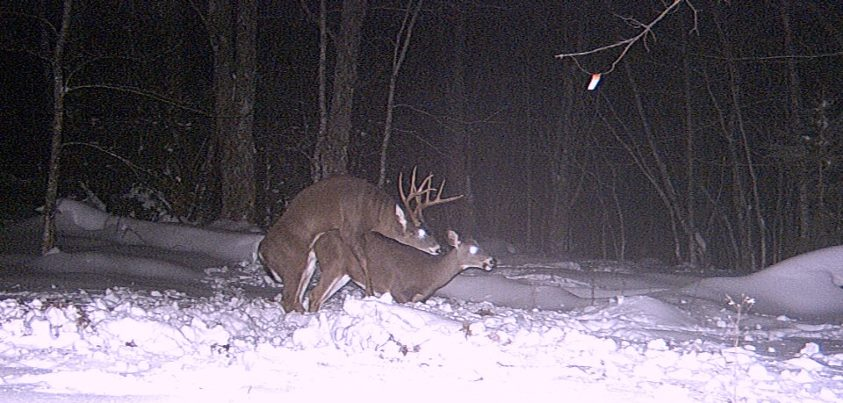 "Hunting Guysborough Nova Scotia Canada - Pic from Nov. 2011 He's still eluding me. Caught this ""action"" on my trail cam last season but could not catch him in my scope! Will be looking to meet up with him this season!"