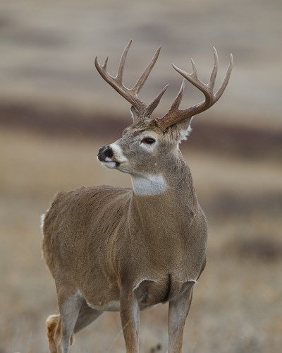 Hunting Trophy Whitetail Buck by Tom Reichner