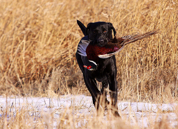 Hunting 45 days until the South Dakota Pheasant Opener