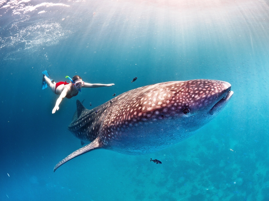 Scuba Swimming with whale shark
