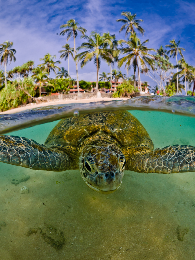Scuba Green turtle relaxing near a beach