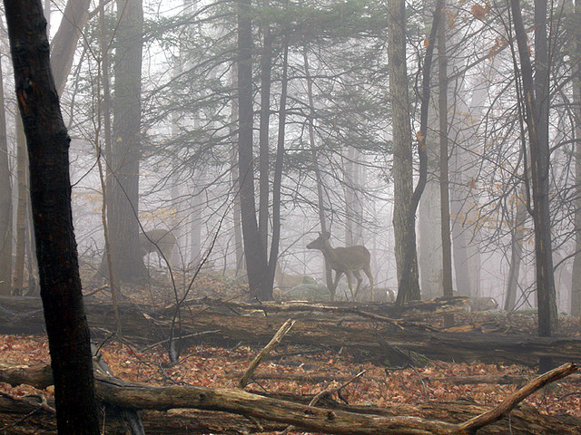 Hunting A herd of deer walk in the early morning fog