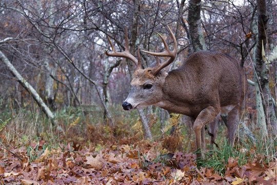 Hunting Whitetail Buck in Woodland Habitat