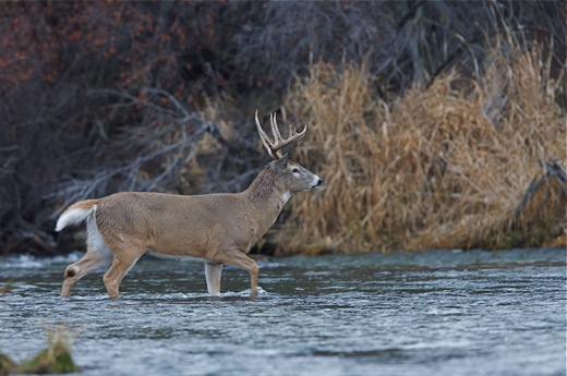 Hunting Large Whitetail Buck Wading Across a Creek