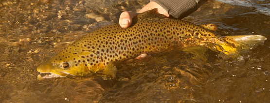 Fishing trout my best brown trout ever from the colorado for Best trout fishing in colorado