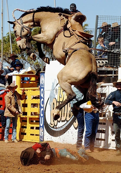 Entertainment Mt Isa Australia 14.08.05 - Saddle bronc rider David Loffel somehow escaped injury in a fall at the Mt Isa Rodeo. (image by Brian Cassey)