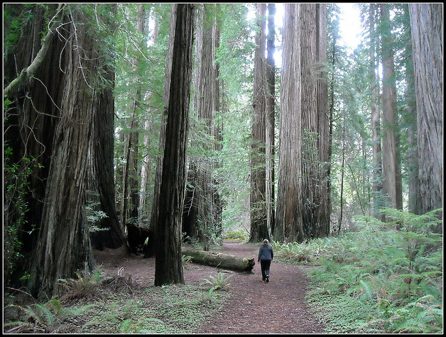 Camp and Hike Beth leading the way to show size of these redwood