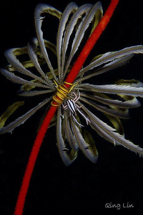 Scuba Macro Monday Photo of the Day: Courtesy Qing Lin