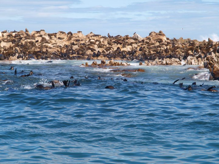 Scuba Our destination lay just visible offshore, through Shark Alley, between Dyer Island -- home to African penguins -- and Geezer Rock, home to uncounted numbers of seals. You can see why the sharks are here in such numbers: breakfast, lunch and dinner.